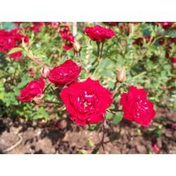 Růže Red cascade