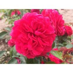 Růže Red Leonardo da Vinci