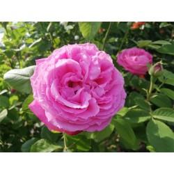 Růže Jiskra