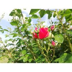 Růže Super Elfin