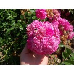 Růže Super Dorothy