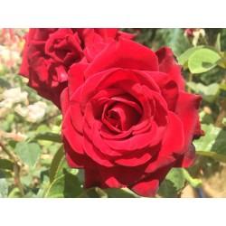 Růže Schwarz Madona