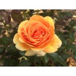 Růže Valencie