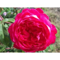 Anglická růže David Austin - Benjamin Britten