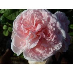 Anglická růže David Austin -  Eglantyne Eglantyne
