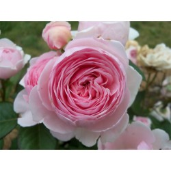 Anglická růže David Austin -  Geoff Hamilton