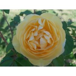 Anglická růže David Austin -  Graham Thomas