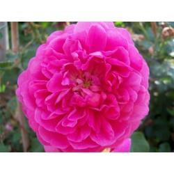 Anglická růže David Austin -  Christopher Marlowe