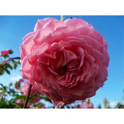 Anglická růže David Austin -  Jubilee Celebration