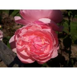 Anglická růže David Austin -  Kathryn Morley