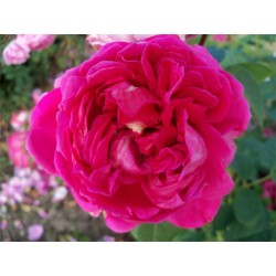 Anglická růže David Austin -  Lady Of Megginch