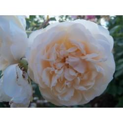 Anglická růže David Austin -  Lichfield Angel