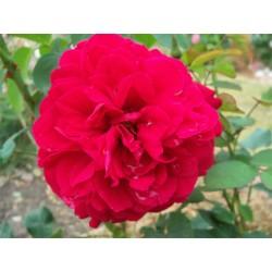 Anglická růže David Austin -  L. D. Braithwaite