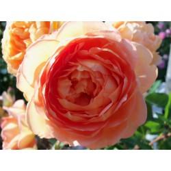 Anglická růže David Austin -  Pat Austin
