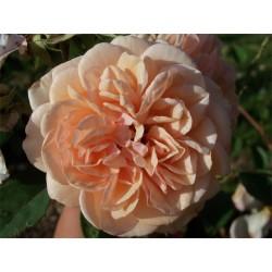 Anglická růže David Austin -  Pegasus