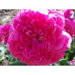 Anglická růže David Austin -  Princess Anne
