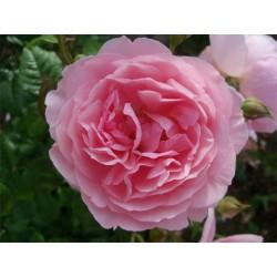 Anglická růže David Austin -  Strawberry Hill