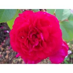 Anglická růže David Austin - Tess Of The D´Urbervilles