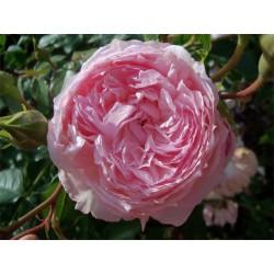 Anglická růže David Austin - The Shepherdess