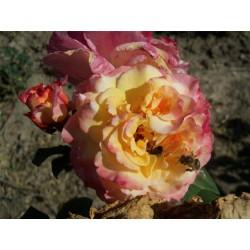 Růže Acapella