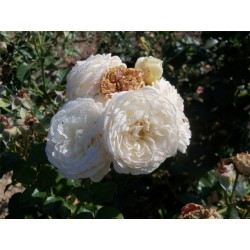 Růže Artemis