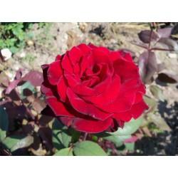 Růže Barcarola