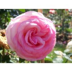 Růže Biedermaier