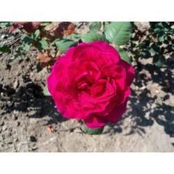 Růže Big Purple
