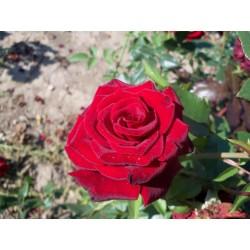 Růže Black Magic