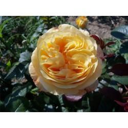 Růže Candlelight