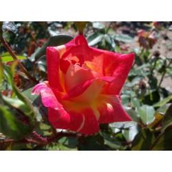 Růže Caribia
