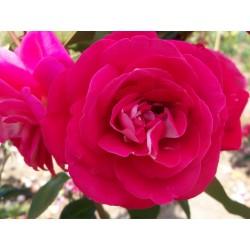 Růže Heimatmelodie