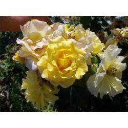 Růže Kozolupská žlutá