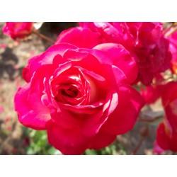 Růže Midsummer