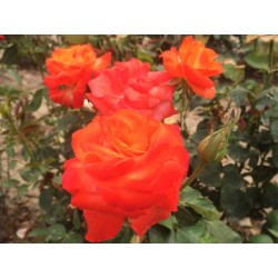 Růže Monika