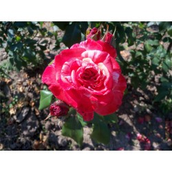 Růže Philatelia